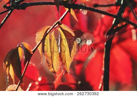 Colorful Autumn Virginia Creeper, Wild Grape Background Close Up