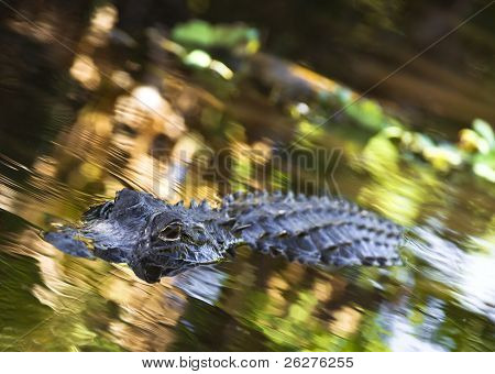 An American Alligator swims around in the Florida Everglades National Park