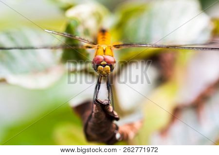 Front View Of The Head Of A Dragonfly Resting On Dry Leaf