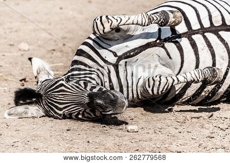 Zebra Wallowing On The Dusty Ground. Funny Animal. Africa