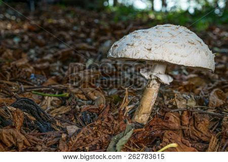 Umbrella Shaped Toadstool Leaning To The Right In A Shallow Depth Of Field Woodland Background