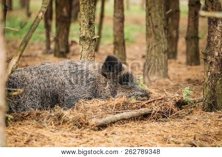 Belarus. Wild Boar Or Sus Scrofa, Also Known As The Wild Swine, Eurasian Wild Pig Resting Sleeping I