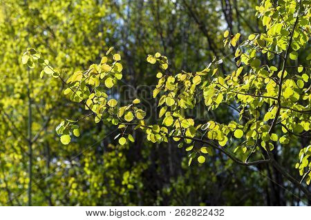 Bright Aspen Leaves Contrast With The Dark Forest.