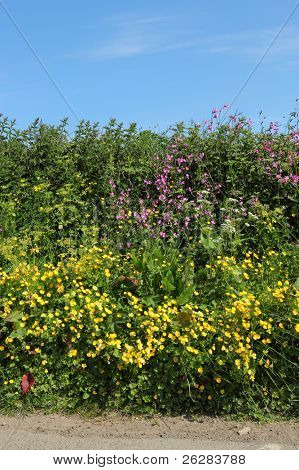Wild summer flowers in an English country road hedge.