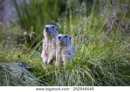 Two Alpine Marmots ( Marmota Marmota) Standing On Their Hind Legs In The Grass. Austrian Alps. Gross