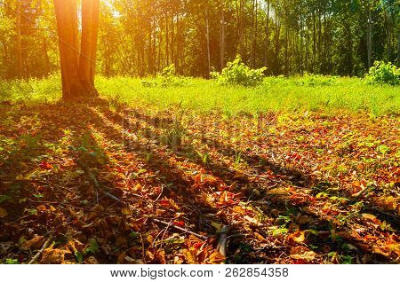 Autumn forest trees in sunny September autumn forest lit by evening sunshine. Colorful autumn landscape with sunbeams breaking through the autumn forest trees