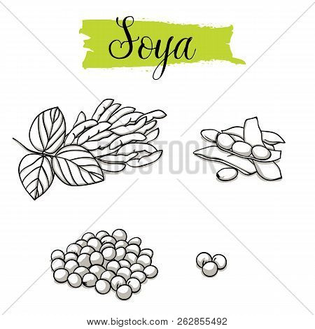 Beautiful Vector Hand Drawn Soya, Bean. organic Food, Vector Doodle Illustrations Collection Isolate