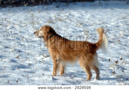 poster of a golden retriever stands in the snow