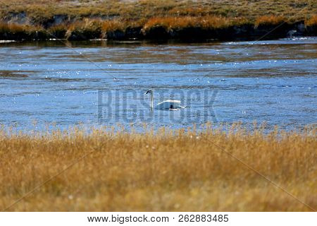 Swan Floating On A River In Yellowstone National Park