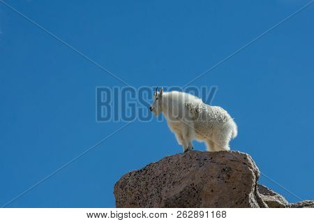 A Mountain Goat Stands On Top Of A Boulder Near The Peak Of Mount Evans