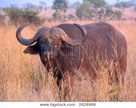 African Buffalo In Early Morning Sun