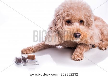 Poodle Pet Dog With Beef Chewables For Heartworm Protection Treatment