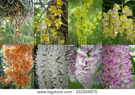 A Variety Of Orchid Flower, Orchidaceae, Central Of Thailand
