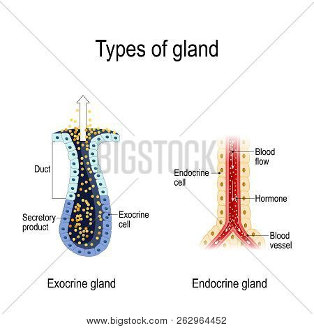 Types Of Gland. Anatomy Of An Endocrine And Exocrine Glands. Different Of Glands Secretion. Cross-se