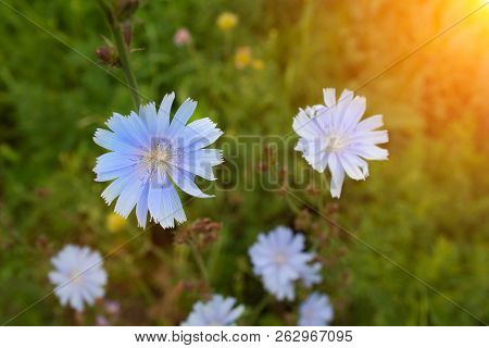 Close Up Chicory Flowers