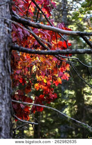 Autumn leves with red colors close up