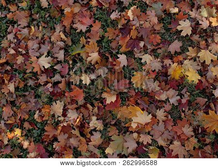 Amazing Multicolor Background Of Natural Autumn Foliage. Colorful Background Of Multicolor Leaves Wi