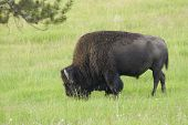 Yellowstone park an iconic north American Bison early on morning poster