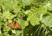 monarch butterfly resting on a leaf during the february migration through california poster