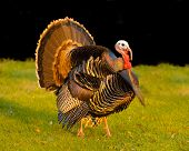 thanksgiving turkey strutting his stuff at sunset creating an iridescent glow to his feathers poster