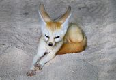 The fennec fox or fennec (Vulpes zerda) is a small nocturnal fox found in the Sahara of North Africa, poster