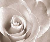 Soft sepia rose poster
