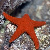 Red starfish (Fromia elegans). Maldives. Indian ocean. Addu atoll. poster