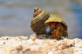 marine snail in the spiral shell on the stone poster