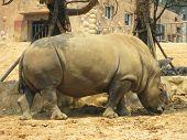 Black rhinoceros (Diceros bicornis) at Dalian Zoo China poster