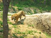 ussur tiger walking on the rock in the Dalian Zoo China poster