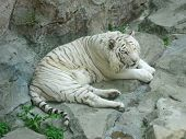 white bengal tiger resting on the rock in the Dalian Zoo China poster