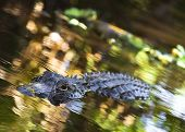 An American Alligator swims around in the Florida Everglades National Park poster