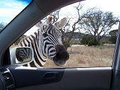 a zebra looks into my car window poster