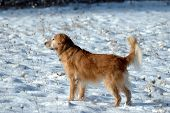 a golden retriever stands in the snow poster