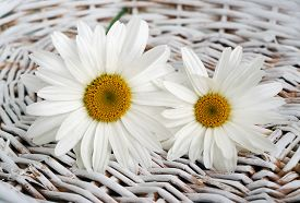 Flowers Camomile In Basket On A Background