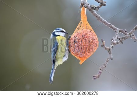 Eurasian Blue Tit Hanging And Eating On  Tallow Ball With Seeds In Winter