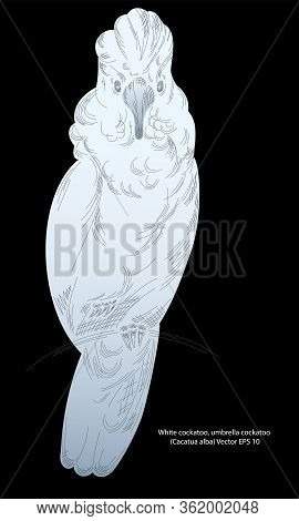 Realistic Drawing Of A White-crested Cockatoo, Sketch. Vector Illustration Eps 10