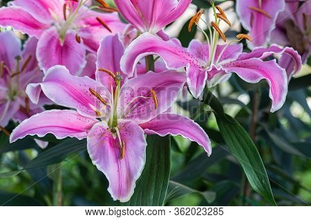 Asiatic Lily Or Asiatic Lilies Flower In Garden At Sunny Summer Or Spring Day. Flower For Decoration