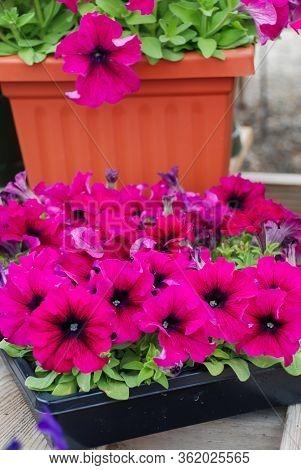 Petunia ,petunias In The Tray,petunia In The Pot, Burgundy Petunia