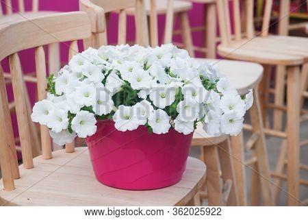 Petunia ,petunias In The Tray,petunia In The Pot, White Petunia On The Wood Chair