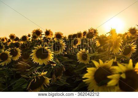Sunrises And Sunsets Sunflowers Many Yellow Nature Photosunrise And Sunset.