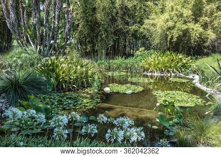 The Lily Ponds At The Huntington Library, Art Collections, And Botanical Gardens In San Marino, Ca.