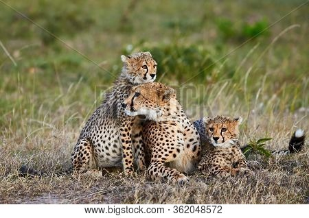 Cheetah Mother (acinonyx Jubatus) Lying In The Grass Of The Savannah With Her Two Cubs.