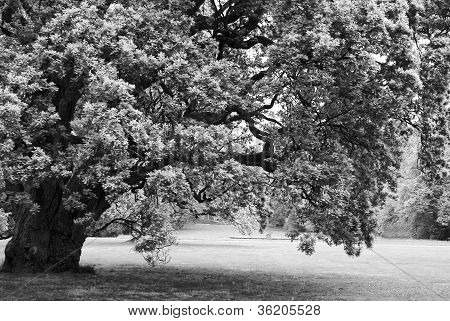 black and white big lonely oak tree