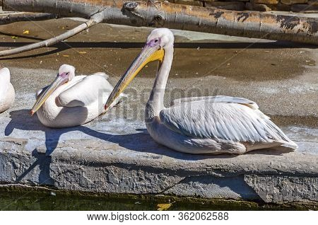 Family Of Great White Pelicans (pelecanus Onocrotalus). Also Known As The Eastern White Pelican Or R