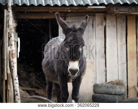 Cute Donkey Stands Confused Under The Falling Snow