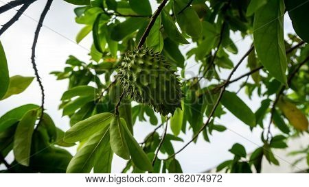 Close Up View Of Unripe Young Soursop On The Tree At The Garden. Soursop Is The Fruit Of Annona Muri