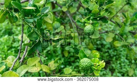 Close Up View Of Kaffir Lime Or Limau Purut On The Tree At The Garden. It Is A Citrus Fruit Native T