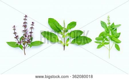 Sweet Basil, Holy Basil And Hairy Basil  Leave With Flower On White Background.