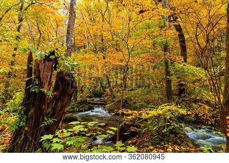 Oirase River Flow Through The Forest Of Beautiful Autumn Foliage With Plenty Of Fallimg Leaves On Th